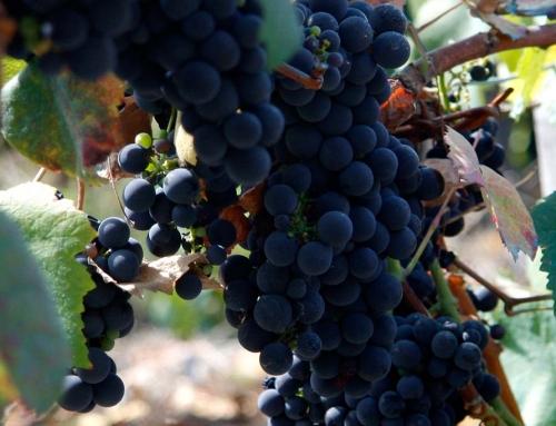 Vineyard-GT05
