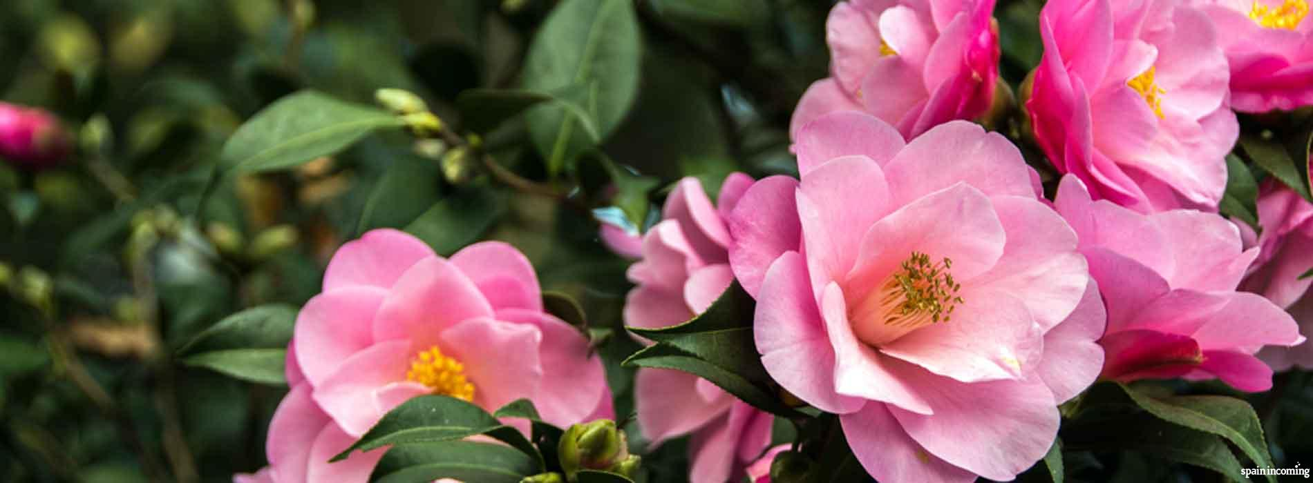 The Camellia route in Galicia - Camellias